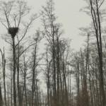 Gniazdo bielika z widocznym wysiadującym dorosłym ptakiem.