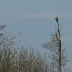 Dorosły bielik pilnujący gniazda.