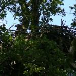 Gniazdo bielika w olsie.