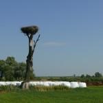 Niektóre gniazda ptaki zbudowały na pojedynczych drzewach rosnących nieopodal gospodarstw.