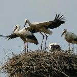 W innych gniazdach młode były na tyle duże, że intensywnie ćwiczyły przygotowując się do pierwszych lotów.