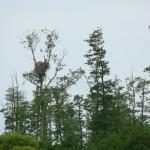 Najefektowniejsze gniazdo bielików na obszarze Natura 2000 Pradolina Warszawsko-Berlińska