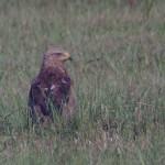 Orlik krzykliwy - napotkanie tego ptaka w Środkowej Polsce to zawsze miła niespodzianka