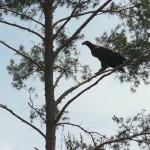 Młody, jeszcze niepewnie latający bielik kilka dni po opuszczeniu gniazda
