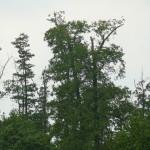 Dorosły bielik (przy prawej krawędzi zdjęcia) pilnujący gniazda i młodych.