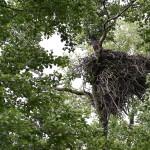 Gniazdo zajmowane przez bieliki od jedenastu lat.